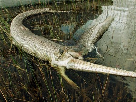 everglades python tries to eat alligator