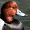 What duck?'s avatar
